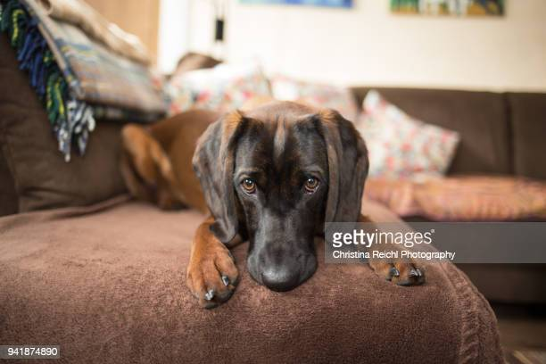 brown bavarian mountain hound on sofa - seeing eye dog stock photos and pictures