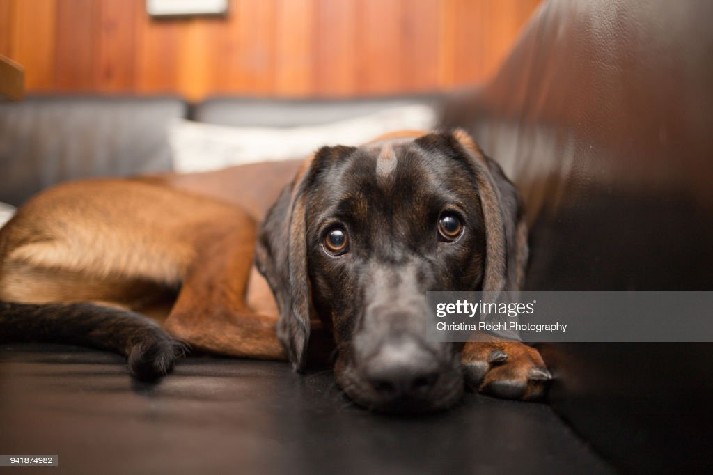 Brown Bavarian Mountain Hound on sofa : Stock Photo