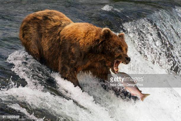 A Brown Bear (ursus arctos) about to catch a salmon in its mouth at the top of Brooks Falls, Alaska. The fish is only a few inches away from its gaping jaws. Shot with a Nikon D800 in July 2015