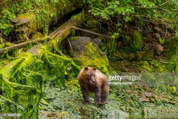 Brown bear along creek at Pavlof Harbor in Chatham Strait, Chichagof Island, Tongass National Forest, Alaska, USA.