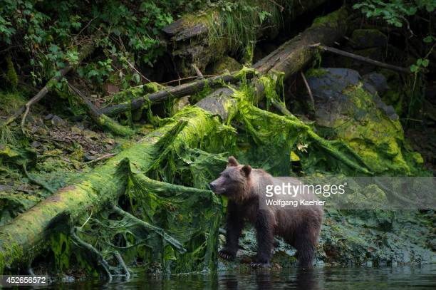Brown bear along creek at Pavlof Harbor in Chatham Strait Chichagof Island Tongass National Forest Alaska