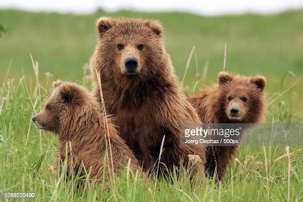 a brown bear and brown bear, anchor point, united states - animals in the wild stock pictures, royalty-free photos & images