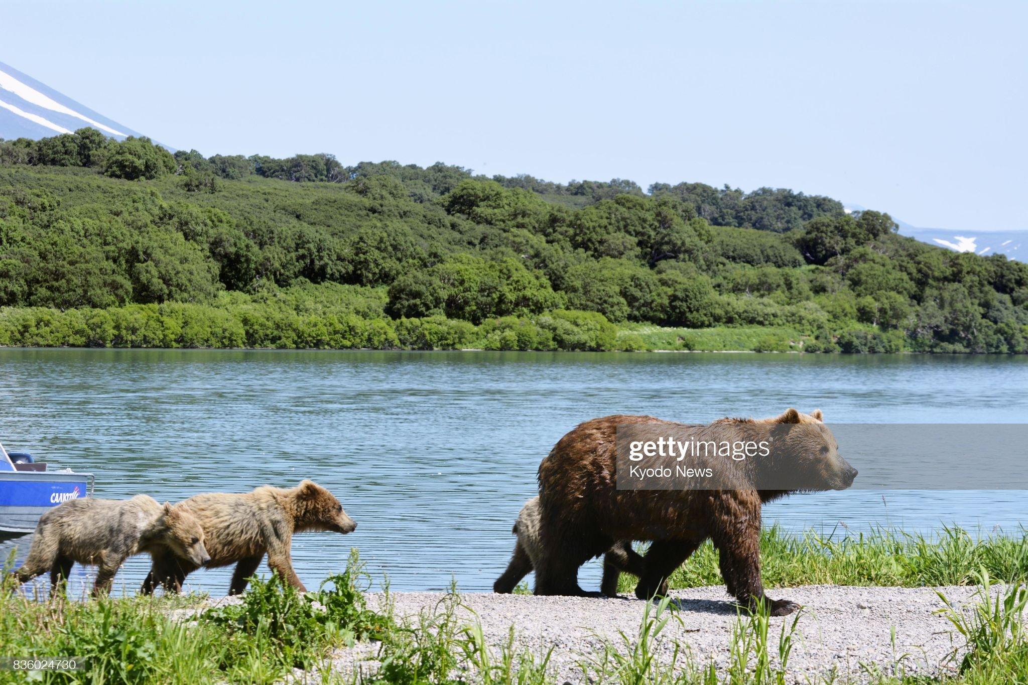 Bears' paradise in Kamchatka, Russia : Foto di attualità