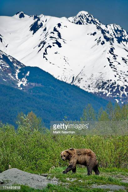 brown bear and mountains - chugach mountains stock pictures, royalty-free photos & images