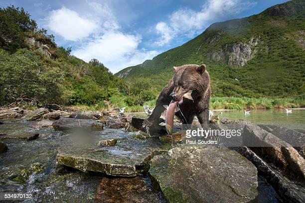 brown bear and salmon, katmai national park, alaska - salmon animal stock pictures, royalty-free photos & images