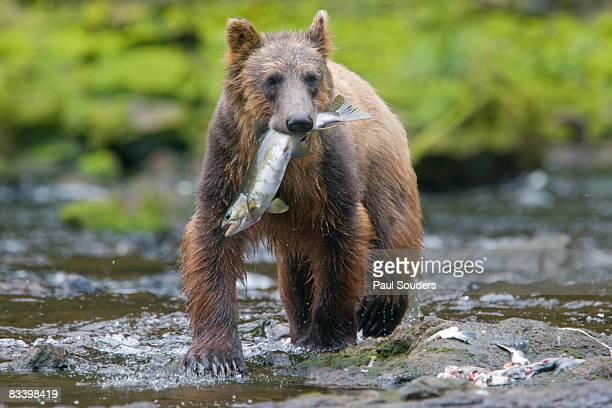 Brown Bear and Sockeye Salmon, Alaska