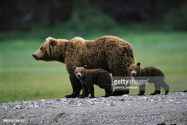 brown bear (ursus arctos) and two cubs side by side, spring - bear cub stock pictures, royalty-free photos & images