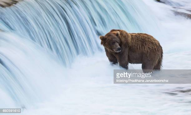 brown bear at brook falls - nationell sevärdhet bildbanksfoton och bilder