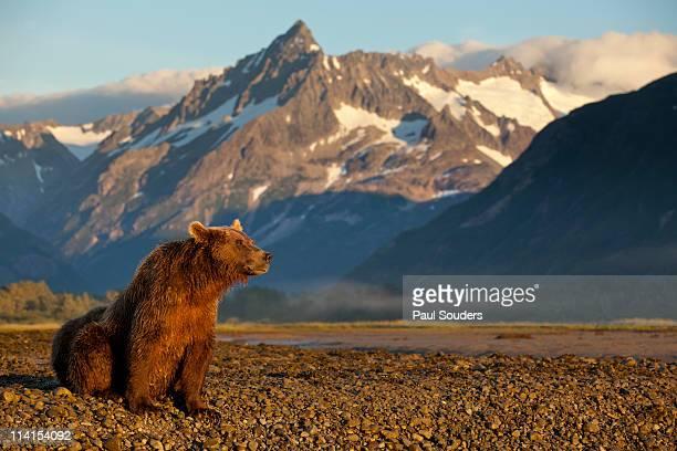 brown bear at dawn, katmai national park, alaska - paisajes de alaska fotografías e imágenes de stock