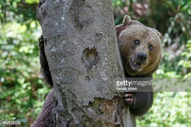 Brown bear (Ursus arctos), behind a tree, captive, Bavarian Forest National Park, Bavaria, Germany