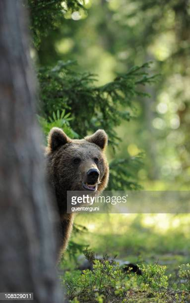 Brown Bear behind a tree in the morning light, wildlife-shot