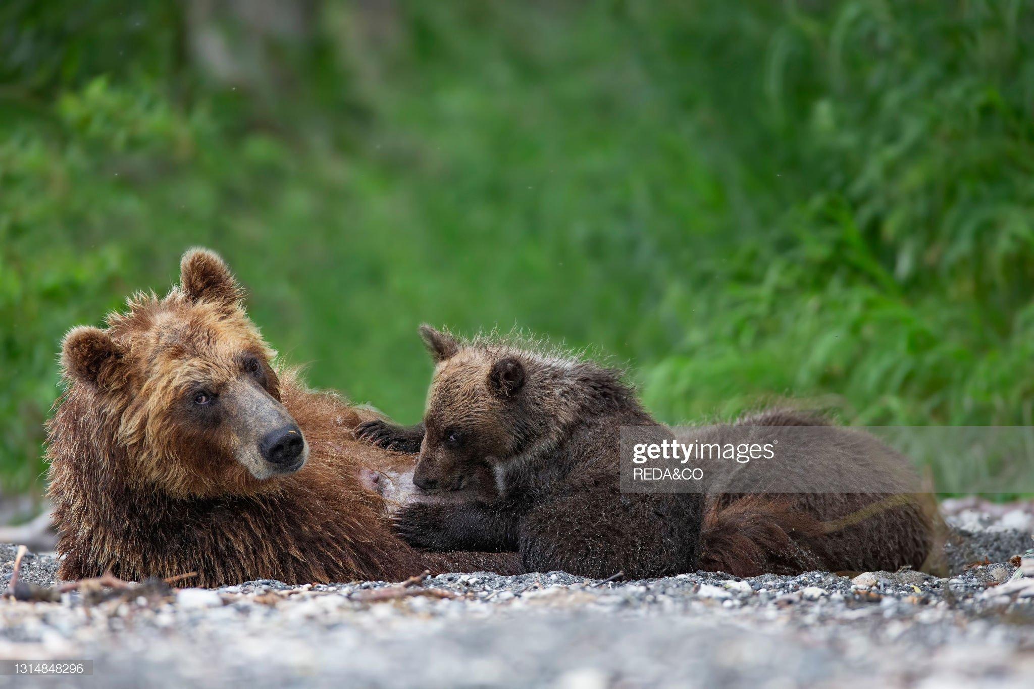 Brown bear (Ursus arctos beringianus) breastfeed cubs in Kurile Lake. Kamchatka peninsula. Russian Federation. Eurasia : Foto di attualità