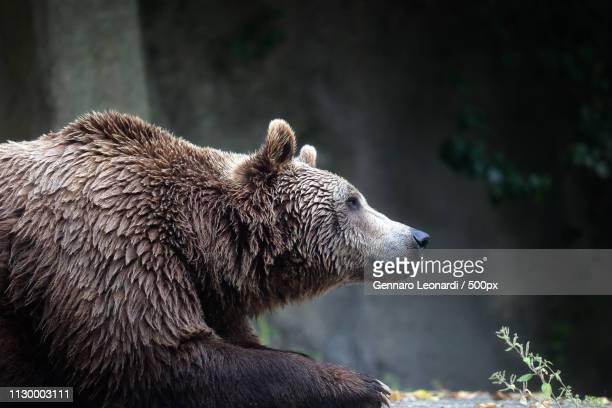 Brown Bear, Captive