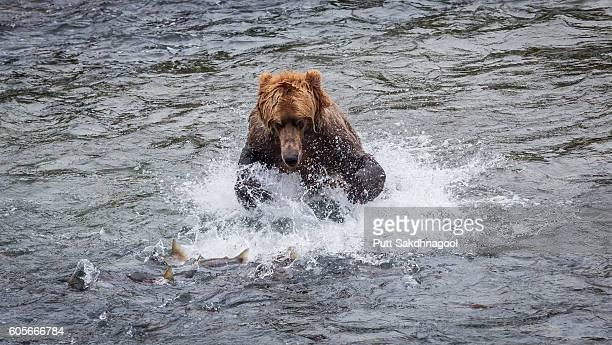 brown bear (ursus arctos) catching salmon near brook falls - chinook salmon stock photos and pictures