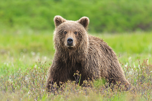 Brown Bear Close Up in Green Sedge Field 950182490