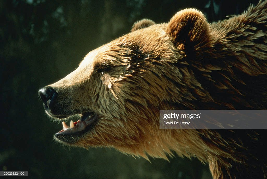 Brown bear, close up, side view : Stock Photo
