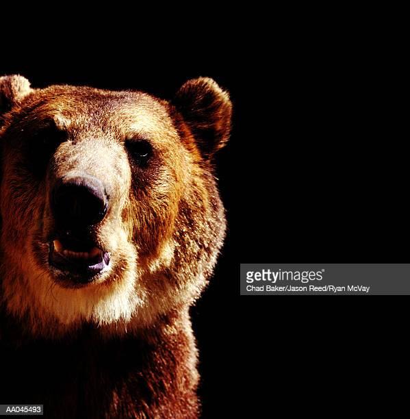 Brown bear (Ursus arctos), close-up
