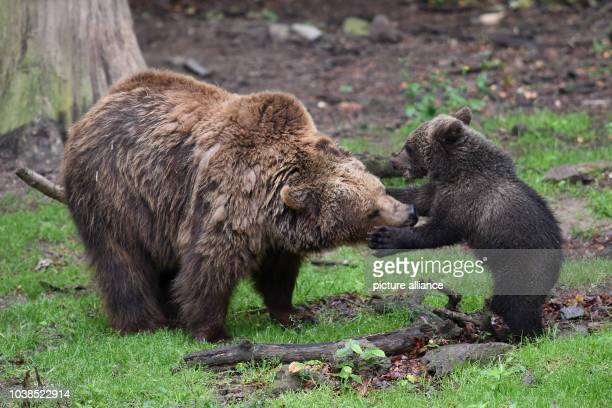 Brown bear cub Alexa who was born in January plays with her mother Onni at Wildpark Knuell near Homberg Germany 22 June 2015 Brown bears and wolves...