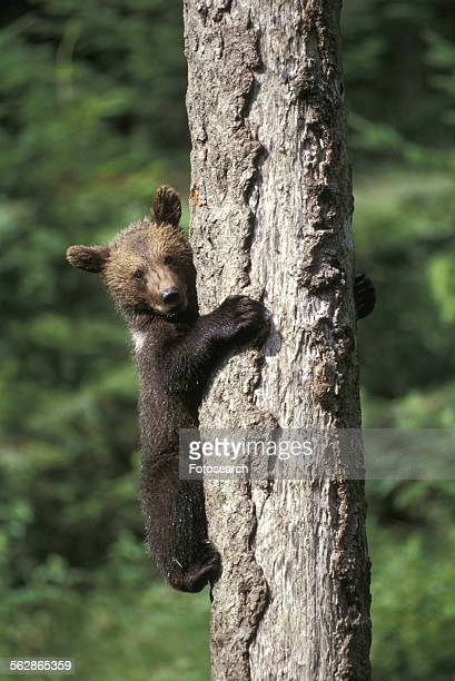 Brown bear cub climbing tree trunk