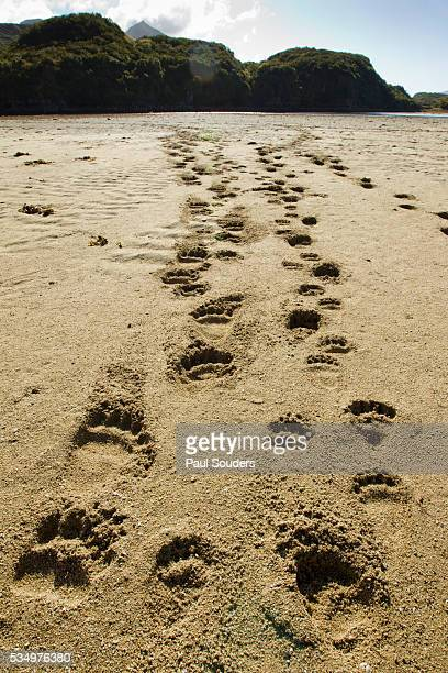 brown bear cub footprints, katmai national park, alaska - bear tracks stock pictures, royalty-free photos & images
