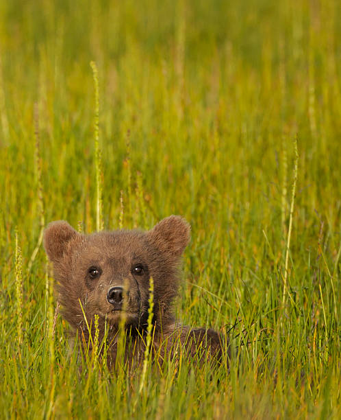 A brown bear cub in the long grass in Lake Clark National Park, Alaska, USA