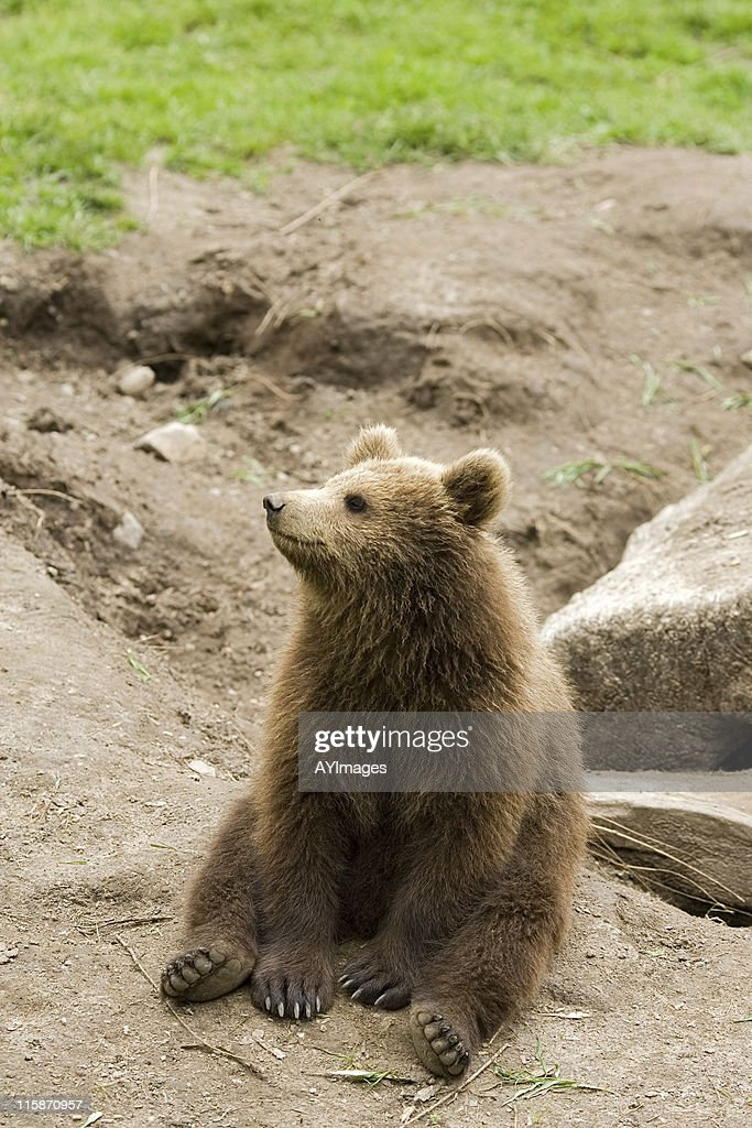 Brown Bear cub (Ursus arctos) : Stock Photo