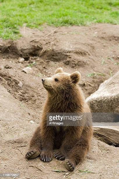 Brown Bear cub (Ursus arctos)