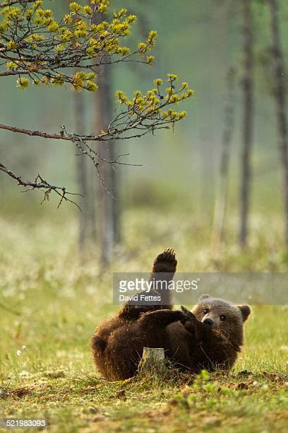 Brown bear cub playing (Ursus arctos) in Taiga Forest, Finland