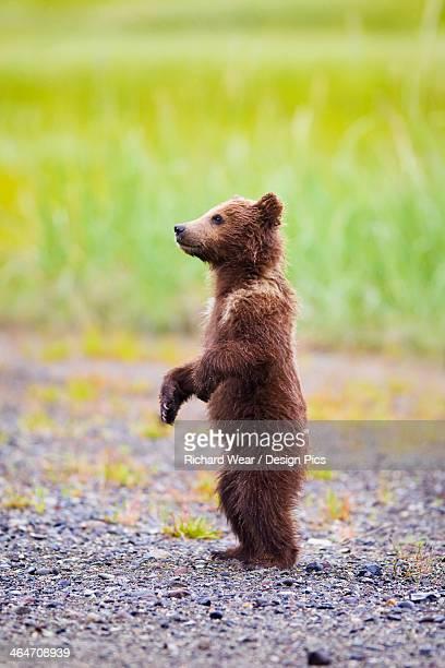 Brown Bear Cub Standing At Lake Clarke National Park