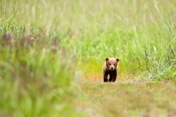 Brown Bear Cub Walking Down A Trail At Lake Clarke National Park