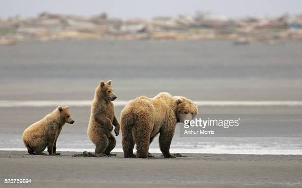 Brown Bear Cubs and Mother in Alaska