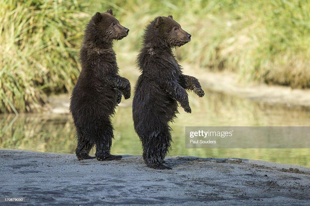Brown Bear Cubs, Katmai National Park, Alaska : Stock Photo