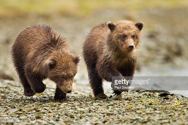 brown bear cubs, katmai national park, alaska - bear cub stock pictures, royalty-free photos & images