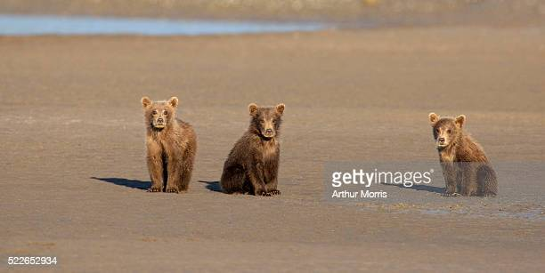 brown bear cubs on mud flat - bear cub stock pictures, royalty-free photos & images