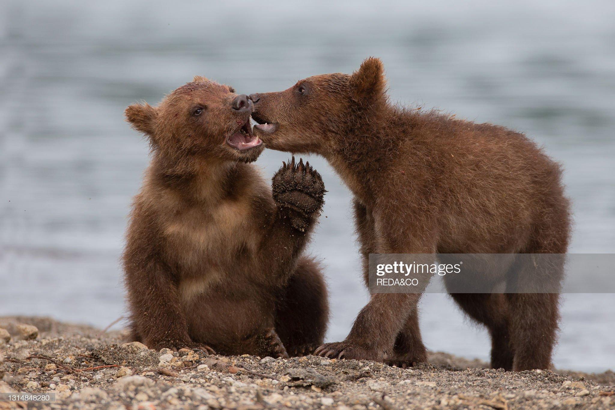 Brown bear (Ursus arctos beringianus) cubs play and fighton the Kurile Lake beach. Kamchatka peninsula. Russian Federation. Eurasia : Foto di attualità