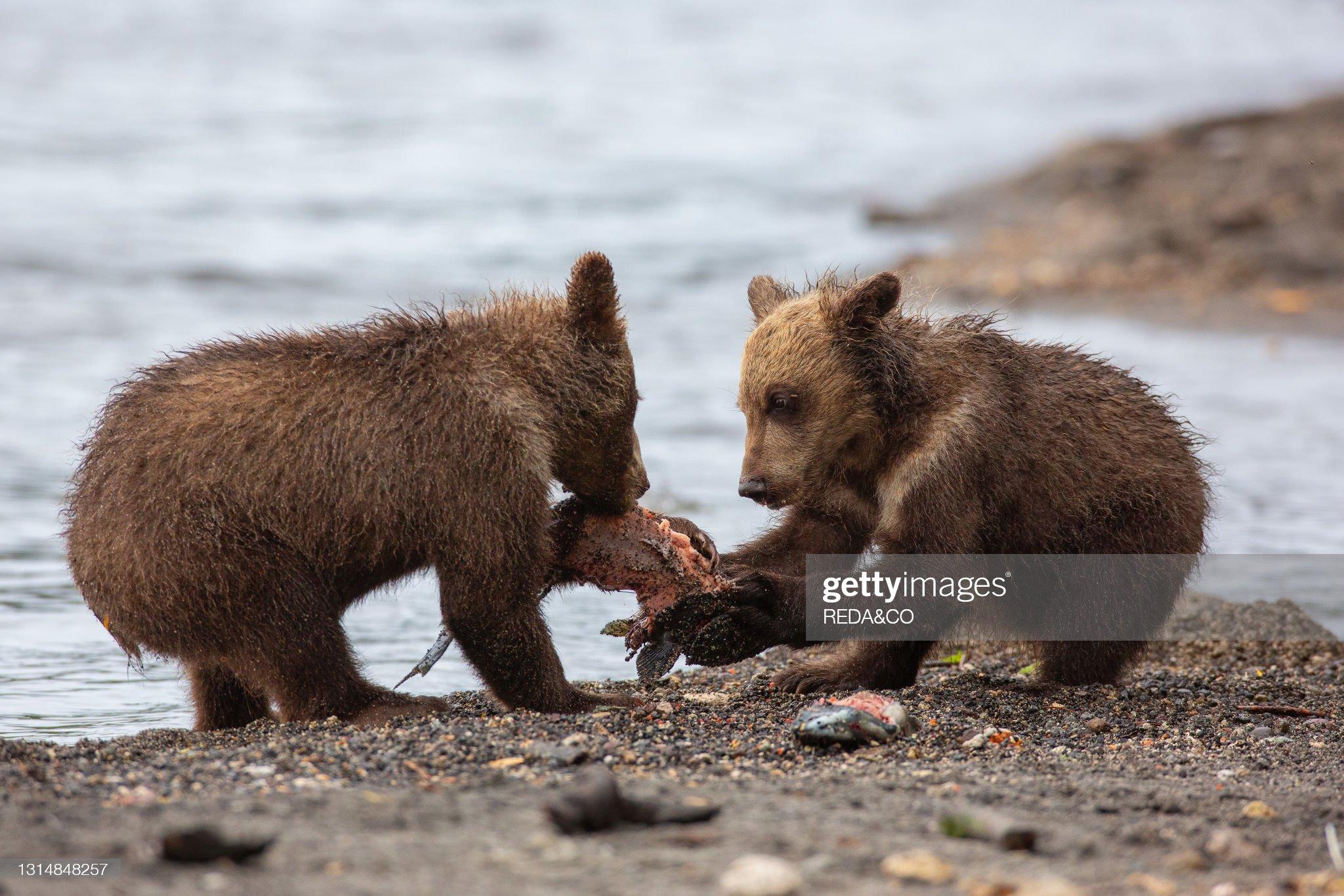 Brown bear (Ursus arctos beringianus) cubs play with a salmon found on the Kurile Lake beach. Kamchatka peninsula. Russian Federation. Eurasia : Foto di attualità