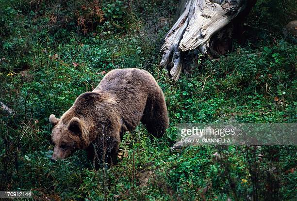 Brown Bear Durmitor National Park Montenegro