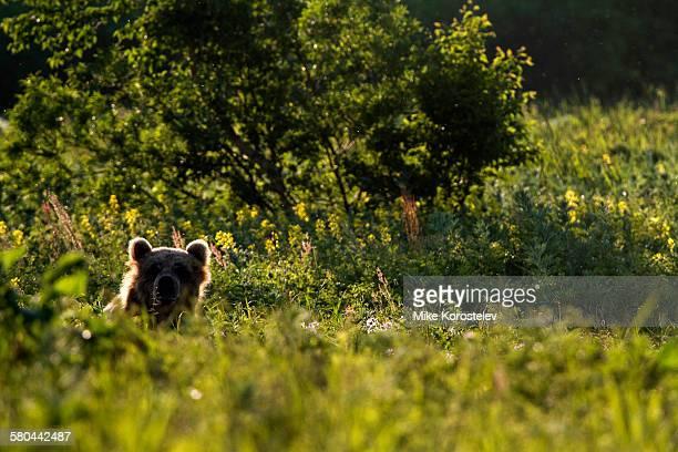 Brown bear ears