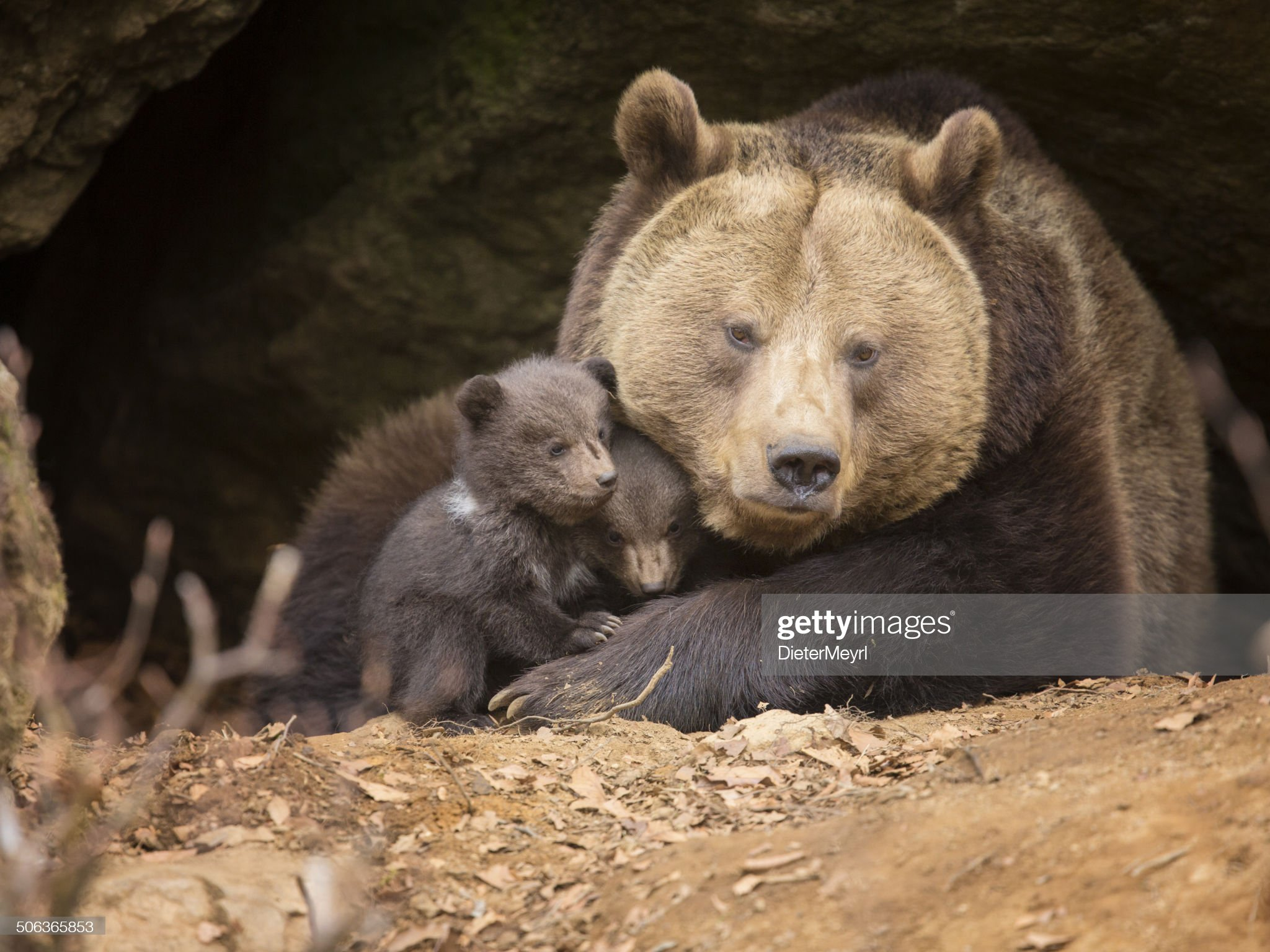 Orso bruno famiglia : Foto stock