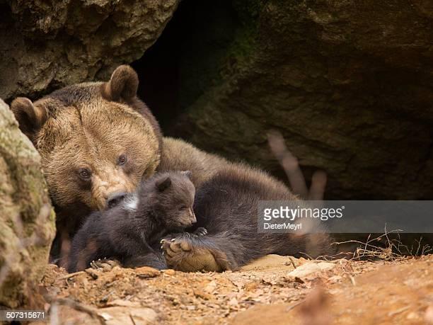Brown bear Familie