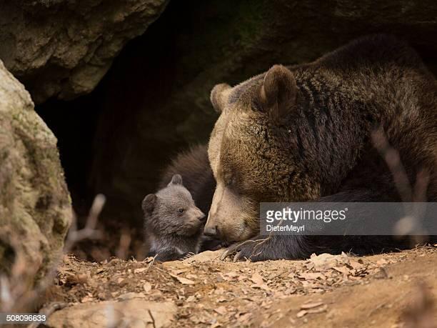 orso bruno famiglia - orso bruno foto e immagini stock
