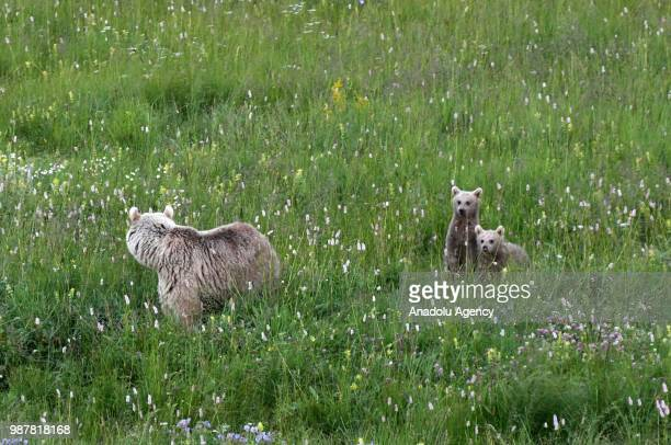 A brown bear family searching for food photographed in Sarkamis district in Kars province of Turkey on June 30 2018
