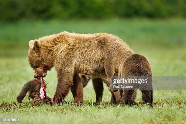 brown bear feeding on cub, katmai national park, alaska - grizzly bear attack stock pictures, royalty-free photos & images