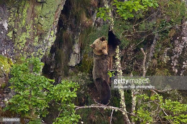 Brown Bear female standing on an oak tree