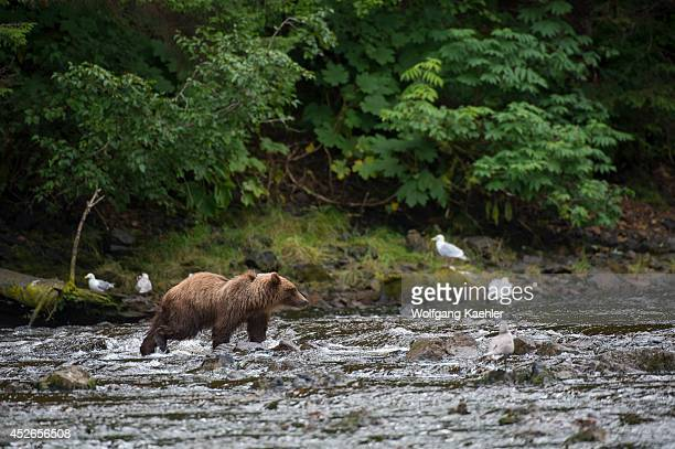 Brown bear fishing for salmon in creek at Pavlof Harbor in Chatham Strait, Chichagof Island, Tongass National Forest, Alaska, USA.