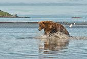 brown bear fishing katmai national park
