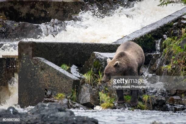brown bear fishing - highlywood fotografías e imágenes de stock