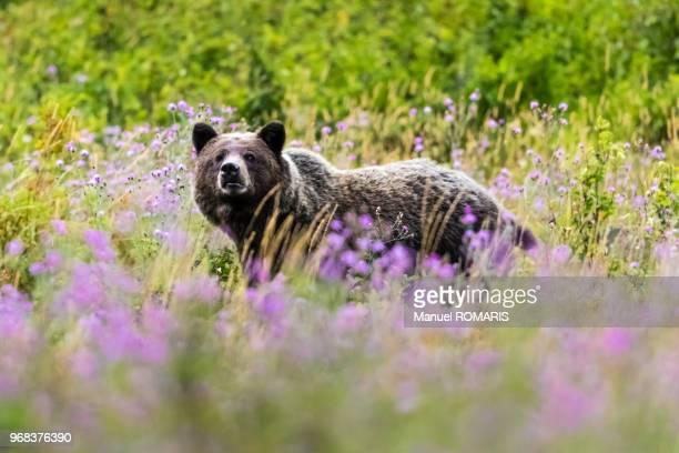 brown bear, glacier national park, us - parque nacional glacier - fotografias e filmes do acervo