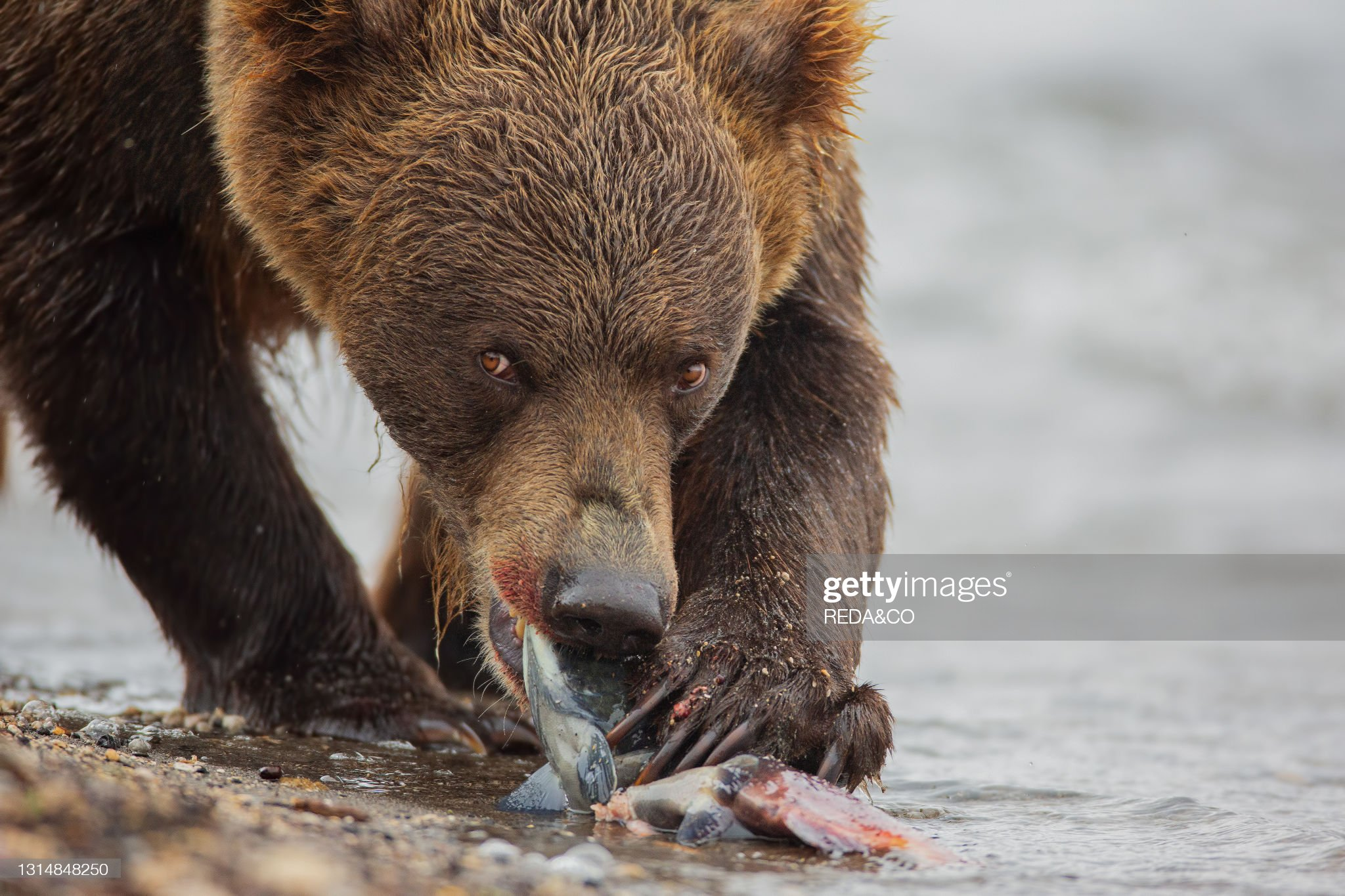 Brown bear (Ursus arctos beringianus) hunting for salmon fish in Kurile Lake. Kamchatka peninsula. Russian Federation. Eurasia : Foto di attualità