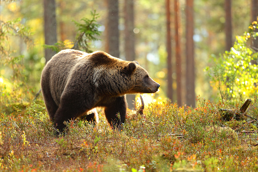 Brown bear in a forest looking at side 1047635564